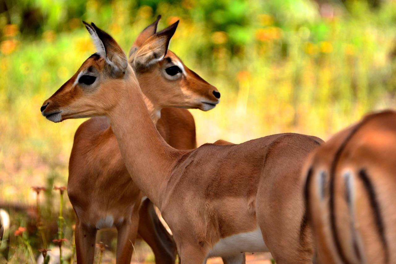 Safari dans le Kruger National Park